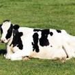Stock Photo: Black and White Cow lying down