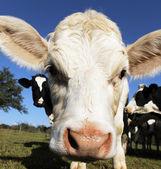 White calf square — Stock Photo