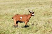 Goat in field — Stock Photo