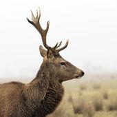Wild deer — Stock Photo