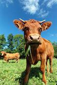 Wide angle cow — Stock Photo