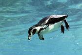 Swimming auk — Stock Photo