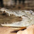 Head of crocodile — Stock Photo
