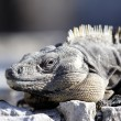 Iguana land — Stock Photo