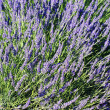 Lavender spirit — Photo