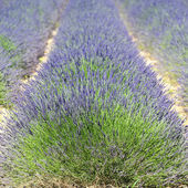 Lavender field square — Stock Photo