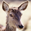Doe portrait - Stock Photo