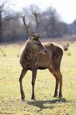 Deer in alert — Stock Photo