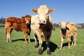 Cow familly — Stock Photo