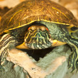 Stock Photo: Red-eared slider