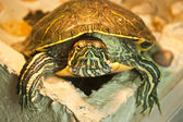 Red-eared slider — Stock Photo