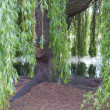 Weeping Willow - Stock Photo