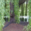 Weeping Willow — Stock Photo #9938910