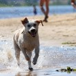 Labrador retriever running and splashing in water — Stock Photo