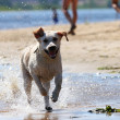 Stock Photo: Labrador retriever running and splashing in water