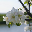 Branch of blossoming apple-tree in spring — Stock Photo #9847069