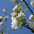Branch of blossoming apple-tree in spring — Stock Photo #9847071