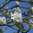 Branch of blossoming apple-tree in spring - Stock Photo