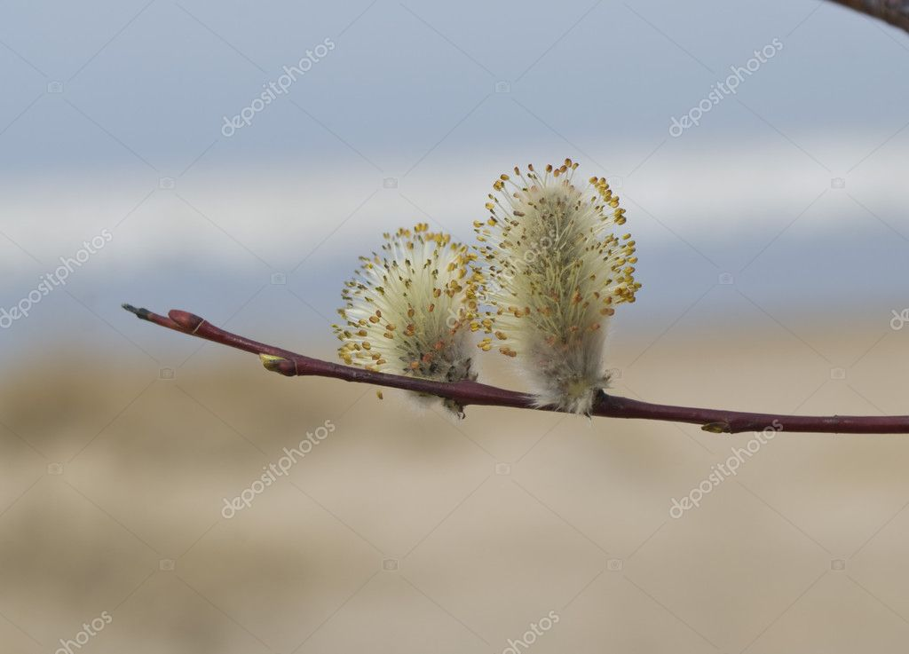Two Blossoming willow against water and sand — Zdjęcie stockowe #9847063