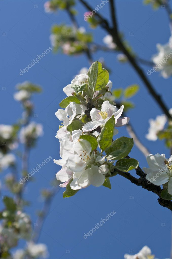 Pink and white flowers of blossoming apple-tree in spring — Stock Photo #9847071
