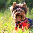 Stock Photo: Yorkshire terrier outdoors