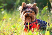 Yorkshire terrier outdoors — Stock Photo