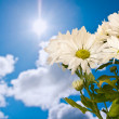 Daisy and sun — Stock Photo #9936854