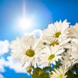 Daisy and sun — Stock Photo