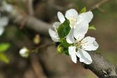 The flowers of cherry tree — Stock Photo