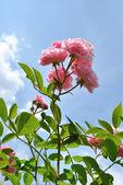 Die rosa blüten der rose gegen leichten blauen himmel — Stockfoto