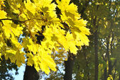 The yellow leaves of maple — Stock Photo