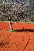 červená obdělávané pole v ibiza, baleárské island, španělsko — Stock fotografie