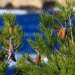 Red pine cone over natural background — Foto de Stock