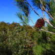 Stock Photo: Red pine cone over natural background