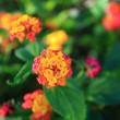 Foto de Stock  : Multi color flower over natural background