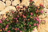 Kamenné zdi a květiny v ranním světle. — Stock fotografie