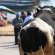 Stock Photo: Sacred Cow in India