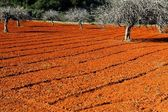 Red cultivated field in Ibiza, Balearic Island, Spain. HDR image — Stock Photo
