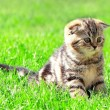 Scottish fold ears kitten sitting on bright green grass outdoor — Stock Photo
