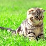 Scottish fold ears kitten sitting on bright green grass outdoor — Stock Photo #10403278