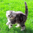 Scottish fold ears kitten on bright green grass outdoor and look - Stock Photo