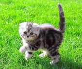 Scottish fold ears kitten on bright green grass outdoor and look — Stock Photo