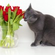 Grey cat eating red tulips — Stock Photo #8943261