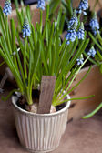 First Blue Springs flowers (Muscari) in a pot — Stock Photo