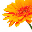 Orange gerber flower — Stock Photo #9765712