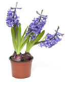 Three hyacinth flowers growing in a pot — Stock Photo