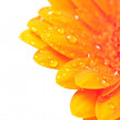 Orange gerber flower with water drops — Stock Photo