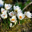 Crocus flower in early spring — Stock Photo