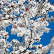 Spring tree blossoms and clear blue sky — Foto de Stock