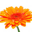 Stock Photo: Orange gerber flower with water drops